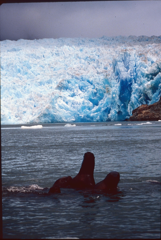 Enterreno - Fotos históricas de chile - fotos antiguas de Chile - Glaciar y Lobos de mar en los 90s