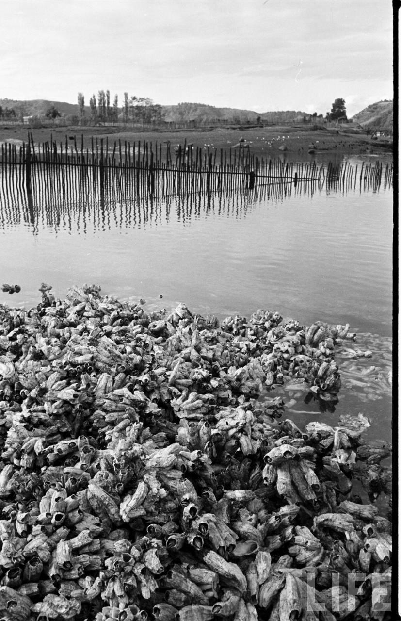 Enterreno - Fotos históricas de chile - fotos antiguas de Chile - cercos de pesca en las cercanías de dalcahue