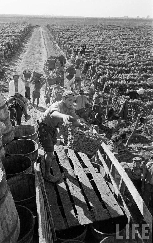 Enterreno - Fotos históricas de chile - fotos antiguas de Chile - Temporeros en vendimia, Zona Centra, 1950