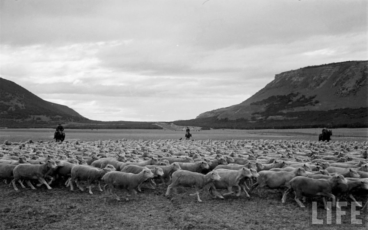 Enterreno - Fotos históricas de chile - fotos antiguas de Chile -  Gauchos trabajando con ovejas en la Patagonia, 1950