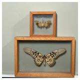 (2pc) TAXIDERMY INSECTS
