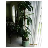 TREE IS TALL AND IN A NICE POT
