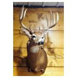 Taxidermy 11 Point White Tail Deer Wall Mount Taken In Henry County, MO