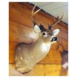 Taxidermy A-Typical 13 Point White Tail Deer Wall Mount Taken In Henry County, MO