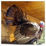 """Taxidermy Wild Tom Turkey Mount With 8"""" Beard, Measures 32"""" x 24"""" x 30"""""""