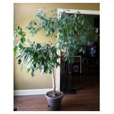 """Live Potted Ficus Tree, Approx. 80"""" x 74"""""""