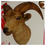 VINTAGE RAMS HEAD SCHWARZ STUDIO TAXIDERMY