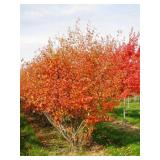 Autumn Brilliance Serviceberry---B&B