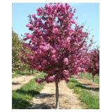 Purple Prince Crabapple Tree---B&B