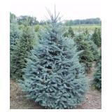 Colorado Spruce Tree---B&B