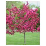 Red Jewel Crabapple Tree---B&B