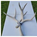 10 point Deer Antler