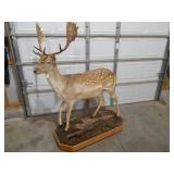Fallow Deer Life-Size Taxidermy Mount For Sale