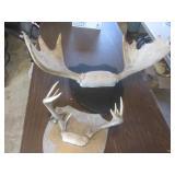 Moose & Deer Antlers
