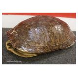 "Turtle Shell  approximately 11 ½"" x 9"""