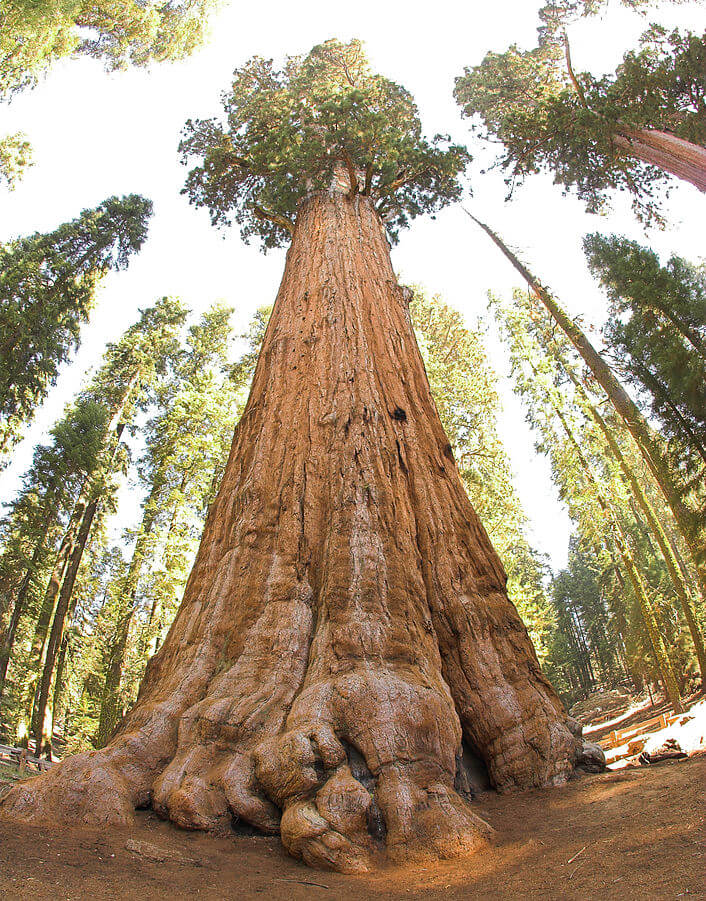 Najveće drvo na svetu nosi ime General Sherman; Fotografija: By Jim Bahn - Sherman TreeUploaded by hike395, CC BY 2.0