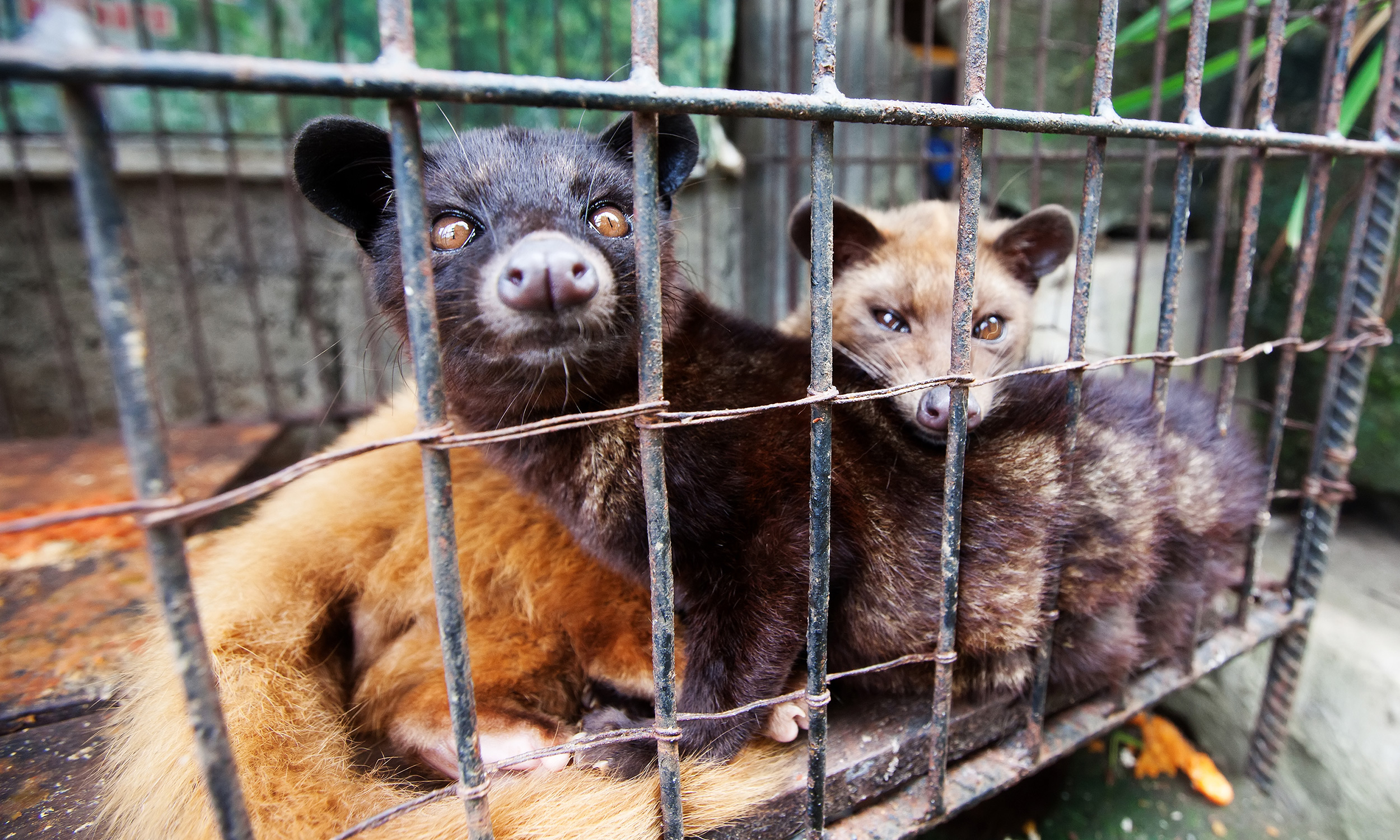 Civets Were Harmed in the Making of the World's Most Expensive Coffee