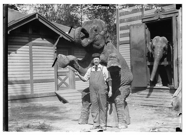 Bill Snyder and Hattie, Central Park.  Snyder standing in front of the elephant while she performs one of her tricks
