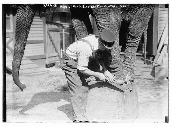 Manicuring elephants, Central Park