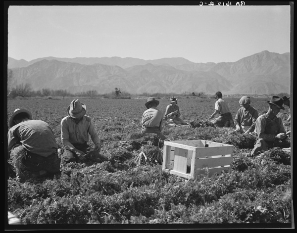 "Carrot pullers from Texas, Oklahoma, Missouri, Arkansas and Mexico. ""We come from all states and we can't make a dollar in this field noways. Working from seven in the morning until twelve noon, we earn an average of thirty-five cents."" California"