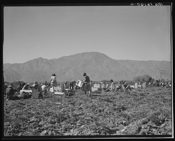 Carrot pullers from Texas, Oklahoma, Missouri, Arkansas and Mexico.  Coachella Valley, California