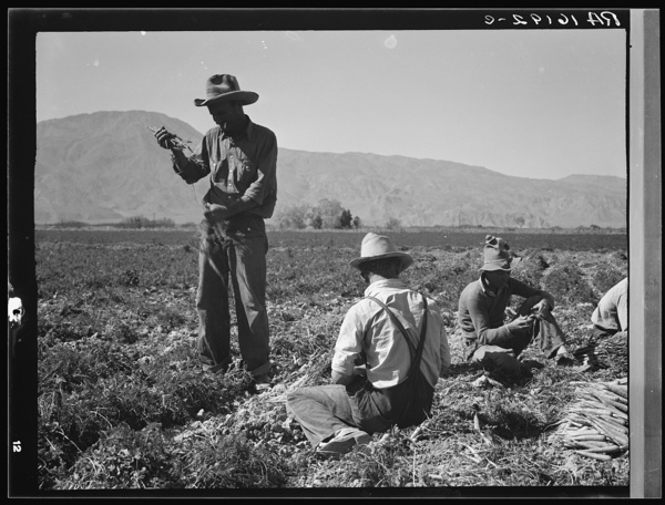Some of the carrot pullers in the Coachella Valley. There are one hundred people in this field coming from Mexico, Texas, Oklahoma, Arkansas and Missouri. California