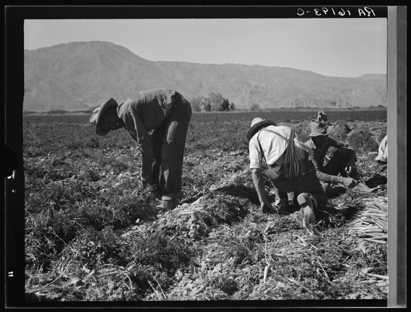 Some of the carrot pickers in the Coachella Valley. There are one hundred people in this field coming from Texas, Oklahoma, Arkansas, Missouri and Mexico. California