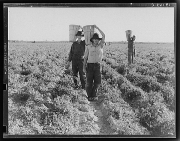End of the day. Near Calipatria, California. Pea pickers