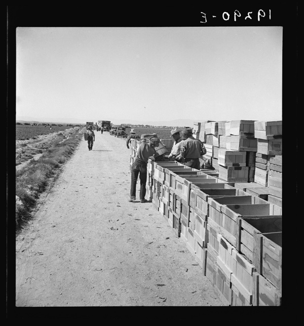 Pea harvest. Large-scale industrialized agriculture on Sinclair Ranch. Imperial Valley, California