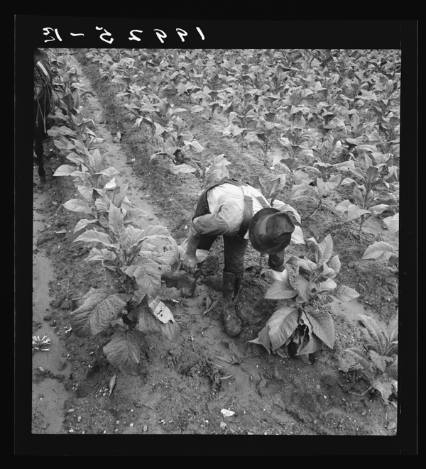 Wage laborer topping tobacco. Shoofly, North Carolina
