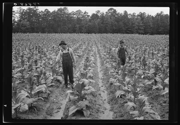 Topping tobacco. Shoofly, North Carolina