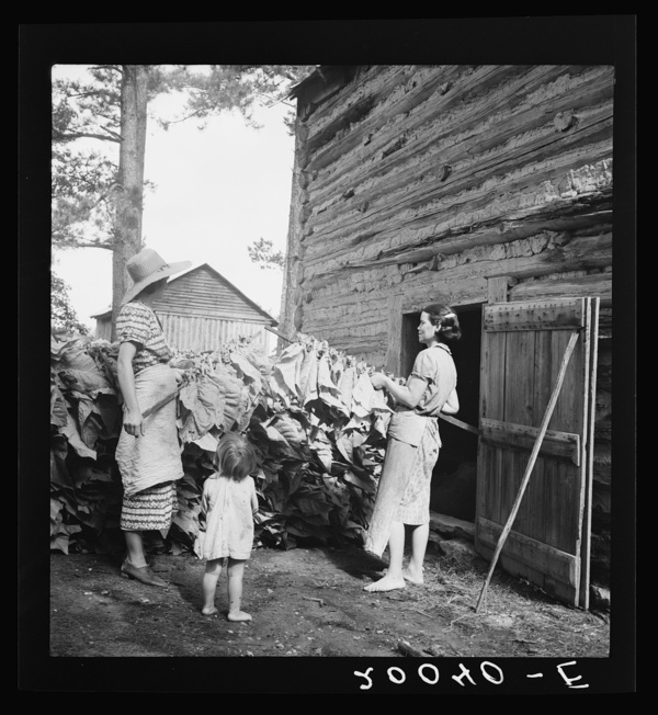 Wives of tobacco tenants pile the tobacco before the barn preparatory to firing. Granville County, North Carolina