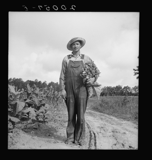 White sharecropper, Mr. Taylor, has just finished priming this field of tobacco. Granville County, North Carolina