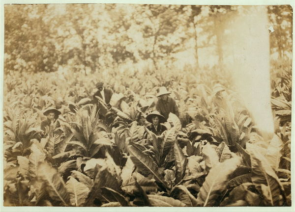 Suckering tobacco on Lowe farm. Lewis W. Hine 1916