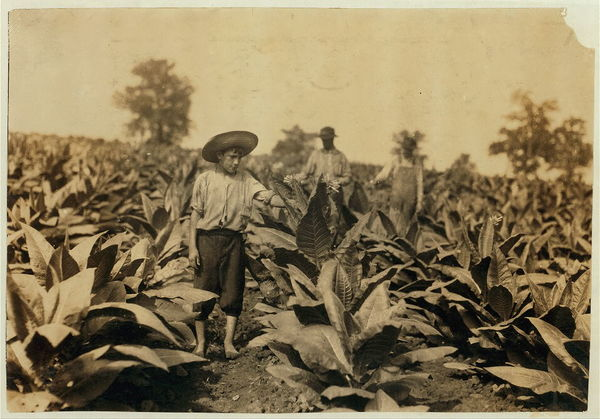 Topping tobacco. Roland Lowe, 13 years old in field with two brothers. There are 7 boys and 2 girls in the family, and 4 are in school. Father, Mose Lowe, R. Route 1, Winchester. Children go to Pretty Run School, Division 2, Clark Co., Ky., but Roland and Bush, 14 years old have not started yet–about 3 weeks after it opened. Father rents this farm of 160 acres. Location: Clark Co.–Winchester, Kentucky / Lewis W. Hine. 1916