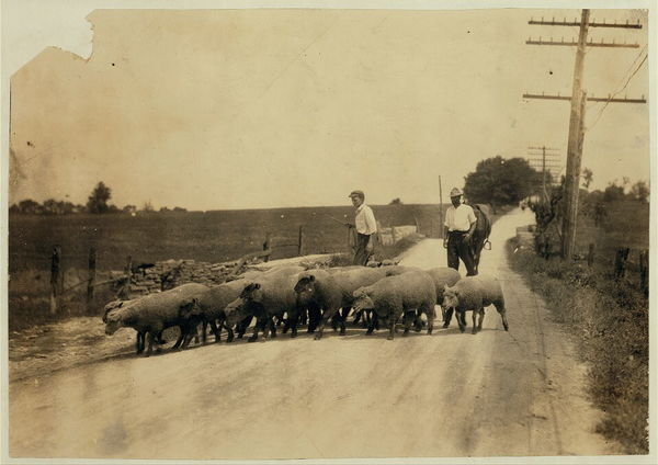 Driving sheep to town. Gartland boy (did not get first name) Mother runs the Farmers Hotel, Winchester.  Location: Clark Co.--Winchester, Kentucky  /     Lewis W. Hine.