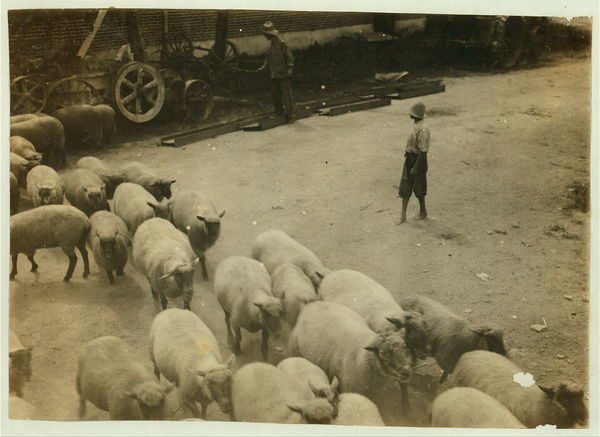 """Driving boy"" driving sheep into the sheep pens at Carlisle.  Location: Nicholas County--Carlisle vicinity, Kentucky																  	/ 					  						  	Lewis W. Hine."