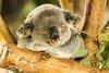 Chubby Botak Koala