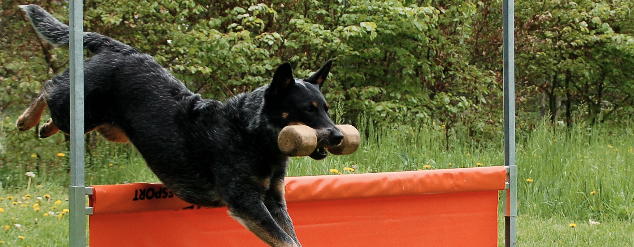 Dog leaping over obstacle with obedience barbell