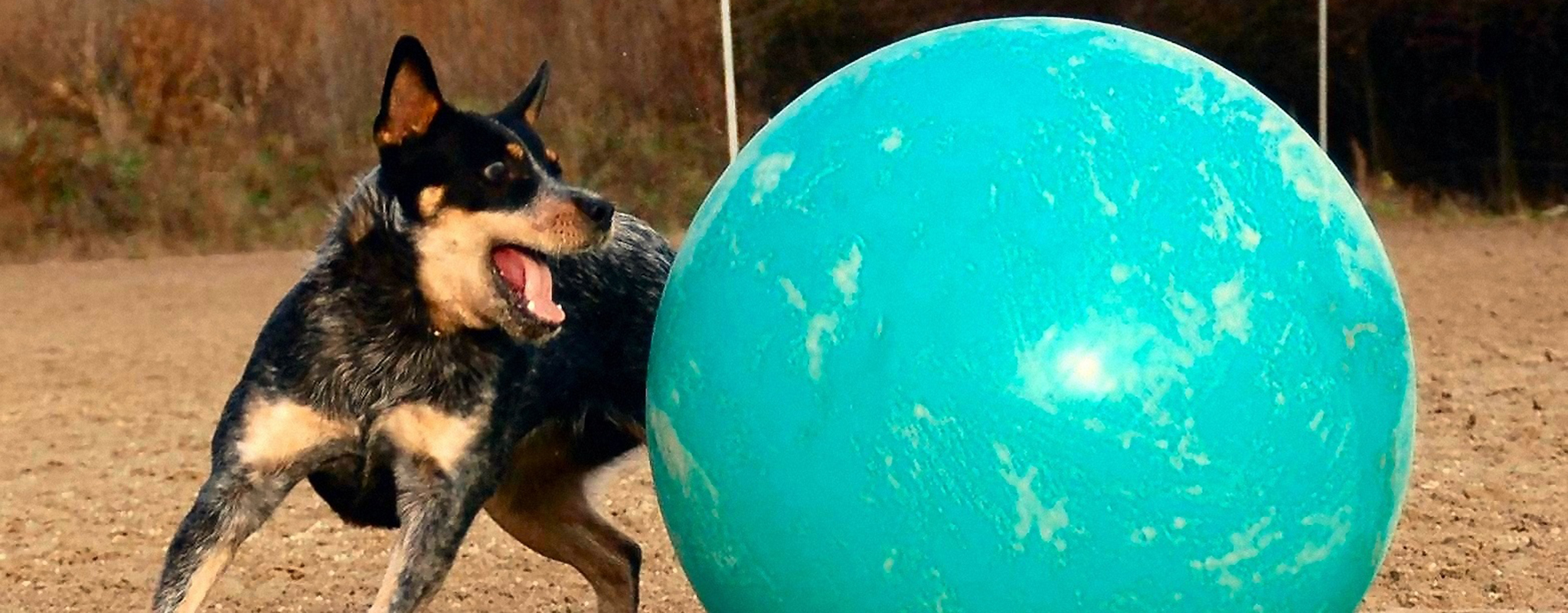 Dog moving Treibball ball