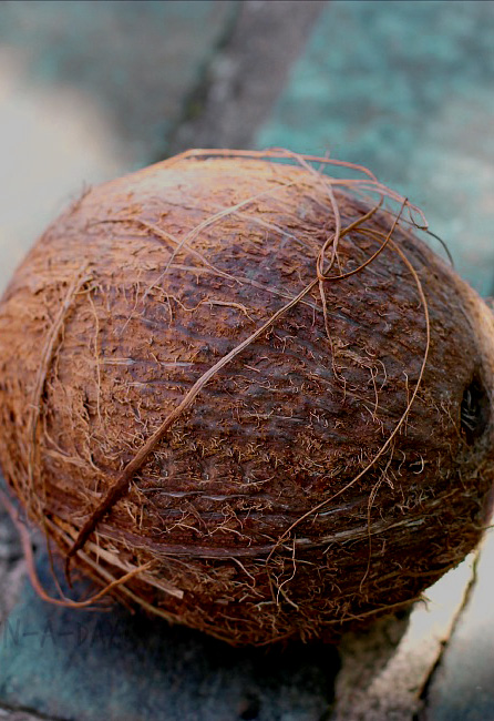 coconuts-artificial-with-natural-husk-weighted-7-in-3-b