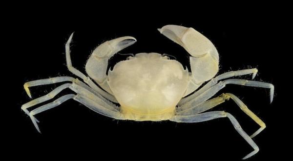 Harryplax Severus Crab 2