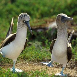 Blue-footed booby courting dance