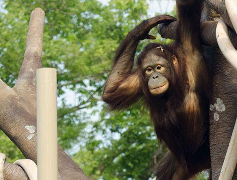 Orangutan Canopy at the KC Zoo
