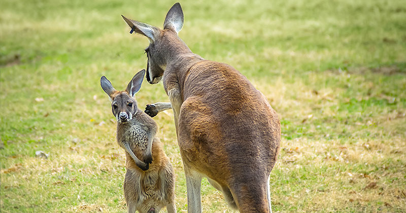 Kangaroos at the Kansas City Zoo
