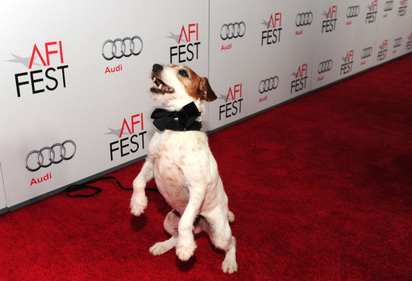 "HOLLYWOOD, CA - NOVEMBER 08: Uggie the dog arrives at ""The Artist"" Special Screening during AFI FEST 2011 presented by Audi on November 8, 2011 in Hollywood, California. (Photo by Alberto E. Rodriguez/Getty Images for AFI)"