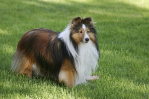 Cute sheltie standing guard over his food.