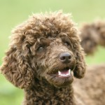 Portrait of breed