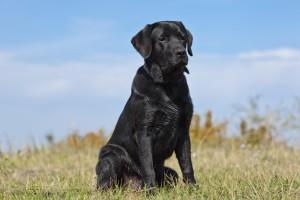 Black labrador retriever in green grass