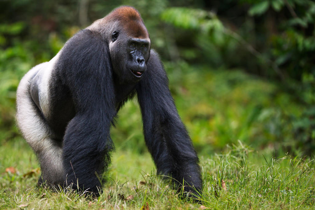animals that will go extinct western gorilla